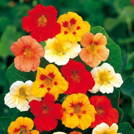Fleurs gazania